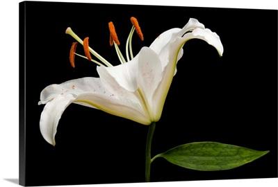 A Muscadet Oriental Lily, Lilium 'Muscadet'