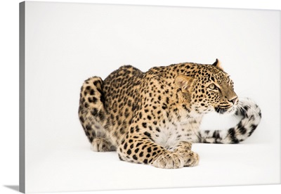 A Persian leopard, Panthera pardus saxicolor, at the Lisbon Zoo in Portugal