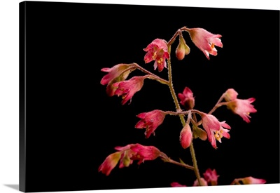 A pink alumroot plant
