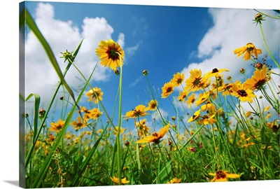 A skyward view of coreopsis flowers in a Texas field