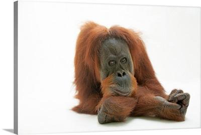 A studio portrait of a critically endangered Sumatran orangutan, Pongo abelii