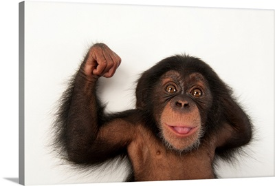 A three-month-old baby chimpanzee