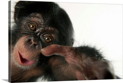 A three-month-old baby chimpanzee, at Tampa's Lowry Park Zoo