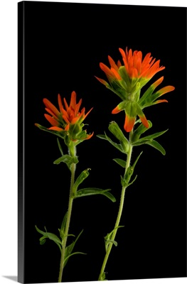 An Indian paintbrush, Castilleja coccinea