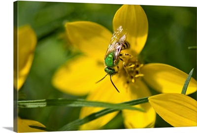 An insect feeds on yellow correopsis flowers