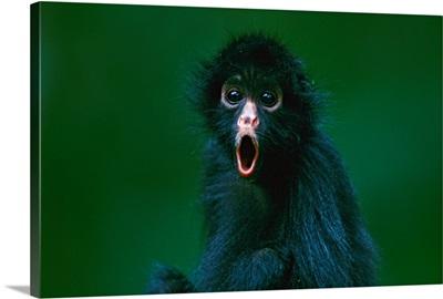 Black-faced spider monkey, Madidi National Park, Bolivia