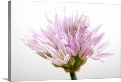 Chive flowers, Allium schoenoprasum