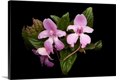 Impatiens psychadelphoides collected from Mount Gorongosa