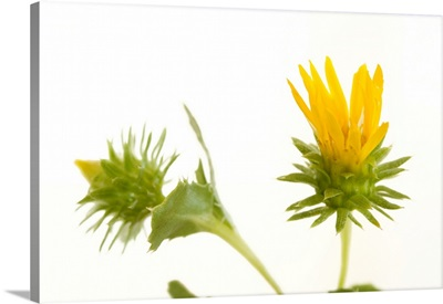 Studio portrait of curly-top gumweed, Grindelia squarrosa
