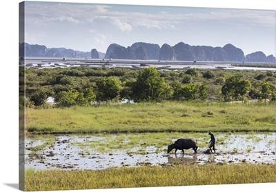 A farmer ploughs a paddy field using a water buffalo, Vietnam
