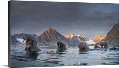A Pack Of Walrus (Odobenus Rosmarus) Depicted In Northern Spitsbergen, Svalbard Islands