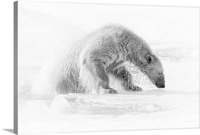 A Polar Bear (Ursus Maritimus) On The Pack Ice In Svalbard