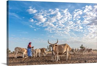 Africa, Senegal. A Fulani Woman Milking The Zebus.