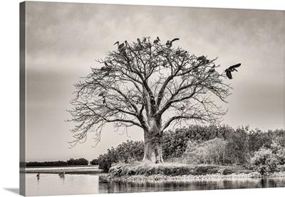 Africa, Senegal, Sine-Saloum-Delta. Sacred Tree With Birds.