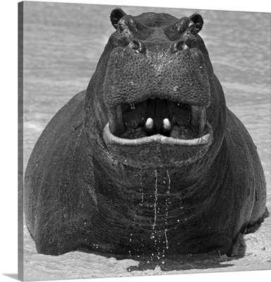 Africa, Southern Africa, African, Botswana, Okavango, Abu, Hippopotamus