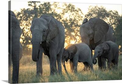 Africa, Southern Africa, African, Botswana, Okavango Delta, Abu Camp, Abu Herd