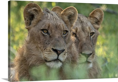 Africa, Southern Africa, Botswana, Savuti, Okavango Delta, Lion, Panthera Leo
