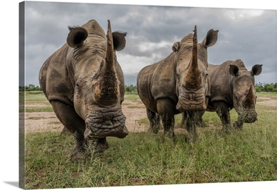 Africa, Southern Africa, South Africa, Swaziland, Black Rhinoceros