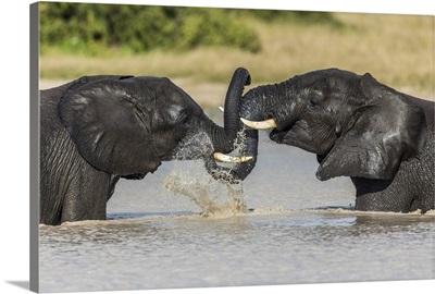 African Elephant (Loxodonta Africana), Savuti, Botswana, Africa