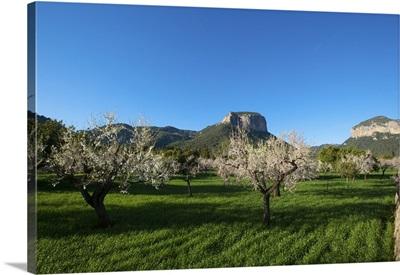 Almond Blossom, Serra de Tramuntana auf Majorca, Balearics, Spain