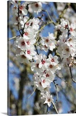 Almond trees blooming with flowers. Loule, Algarve, Portugal