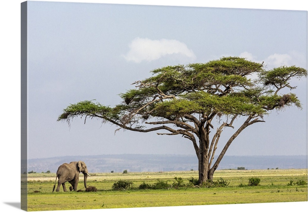 Amboseli National Park An African Elephant Approaches A Large