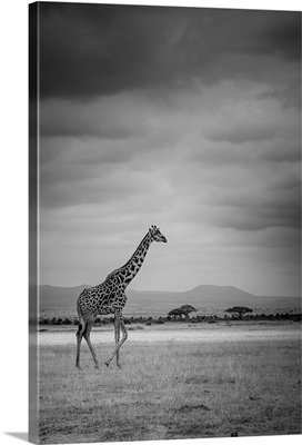 Amboseli Park, Kenya, Italy A giraffe shot in the park Amboseli, Kenya