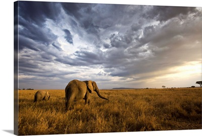 An african elephant at sunset in the Serengeti national park, Tanzania, Africa