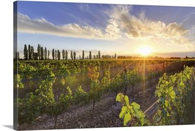 Argentina, Mendoza, Lujan de Cuyo, Malbec Grape Wineries