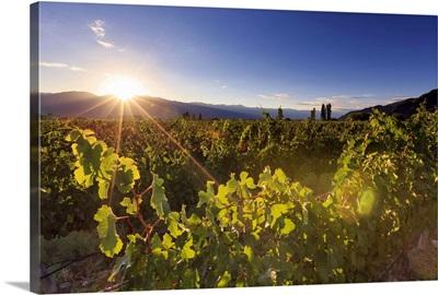 Argentina, Salta, Cafayate, Torrontes Grape Wineries