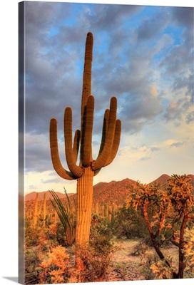 Arizona, Tucson, Saguaro National Park