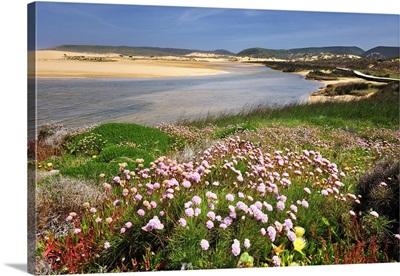 Armeria pungens blossom, Bordeira, Algarve, Portugal