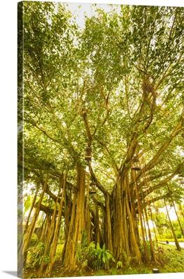Banyan Tree, D'eau Douce, Flacq, East Coast, Mauritius