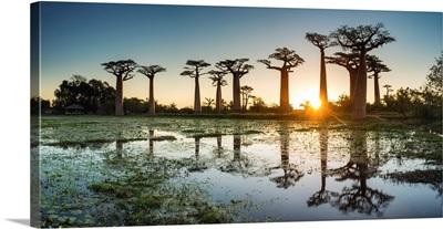 Baobab Trees At Sunset (UNESCO World Heritage Site), Madagascar