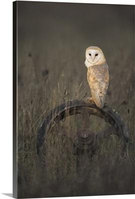 Barn Owl (Tyto Alba), Hampshire, England, UK