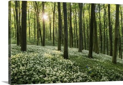 Beech Forest With Blooming Wild Garlic, Hainich National Park, Thuringia, Germany