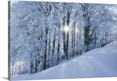 Beech Forest With Hoar Frost In Winter, Germany, Bavaria, Miesbach, Kleinpienzenau