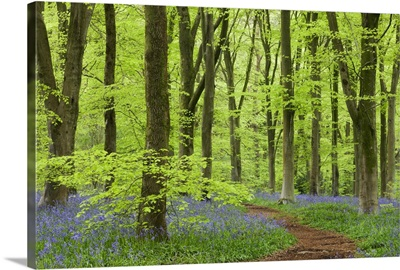 Bluebell carpet in a beech woodland, West Woods, Wiltshire, England