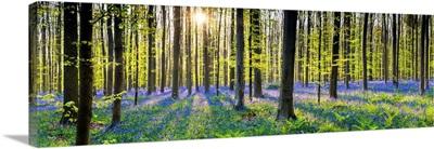 Bluebell Flowers, Carpet Hardwood Beech Forest, Hallerbos Forest, Belgium