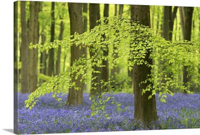 Bluebells and beech trees in West Woods, Wiltshire, England