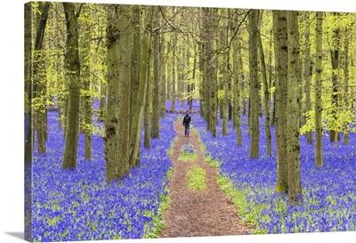 Bluebells at Dockey Wood, Ashridge Estate, Hertfordshire, UK