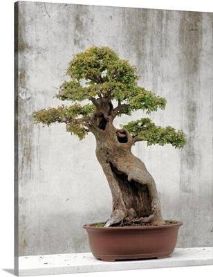 Bonsai tree, Classical Garden, Suzhou, Jiangsu, China
