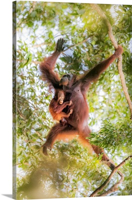 Bornean Orangutan Mother Carrying A Baby On A Tree, Tanjung Puting National Park