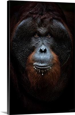 Bornean Orangutan Portrait, Tanjung Puting National Park