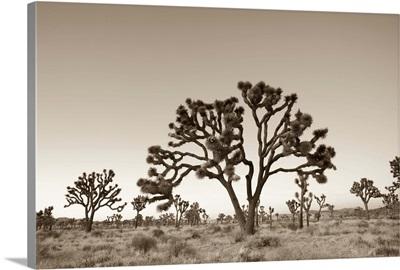 California, Joshua Tree National Park, Joshua Trees (Yucca Brevifolia)