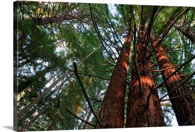 California, Redwood National Park, Redwood Tree Forest