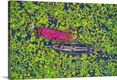 Canal Of Water Lily, Satla, Barisal, Bangladesh