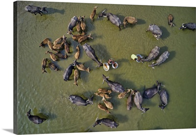 Cattle Being Herded Across The River Jamuna In Bogura, Bangladesh For Their Daily Bath