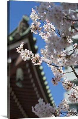 Cherry blossom at Tocho-ji Temple, Fukuoka, Kyushu, Japan