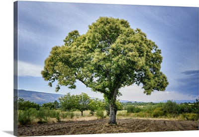 Chestnut Tree With Blossoming Spring Flowers, Portugal
